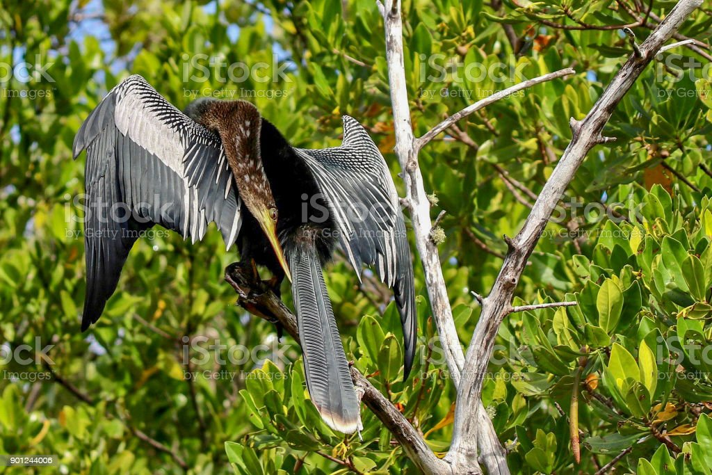 Anhinga sunning on a branch at Ding Darling National Wildlife Refuge 15 stock photo