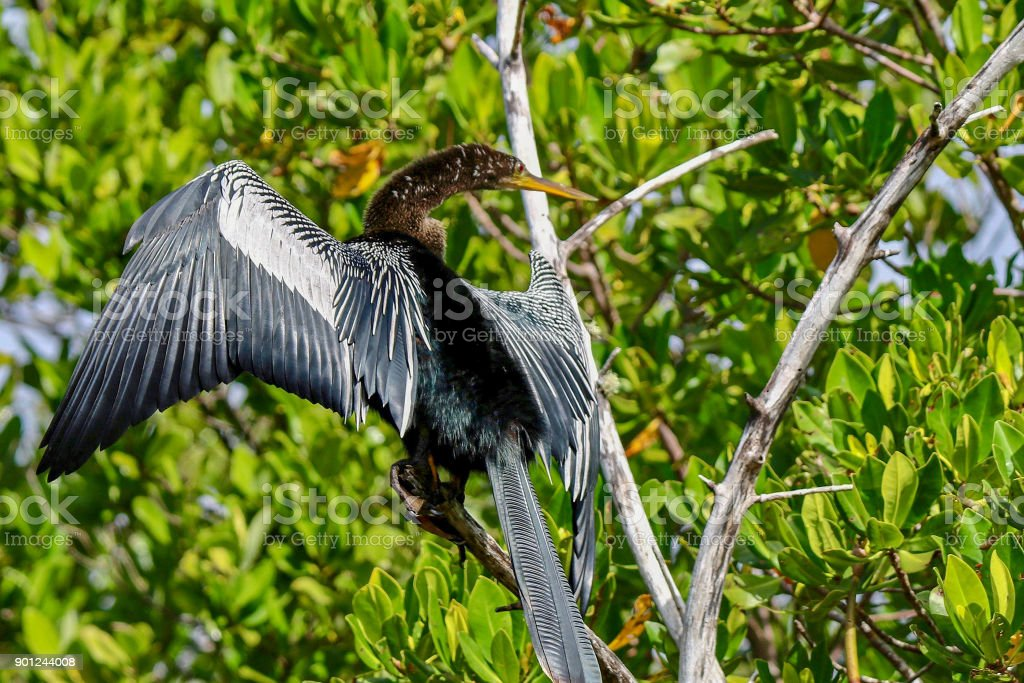 Anhinga sunning on a branch at Ding Darling National Wildlife Refuge 8 stock photo
