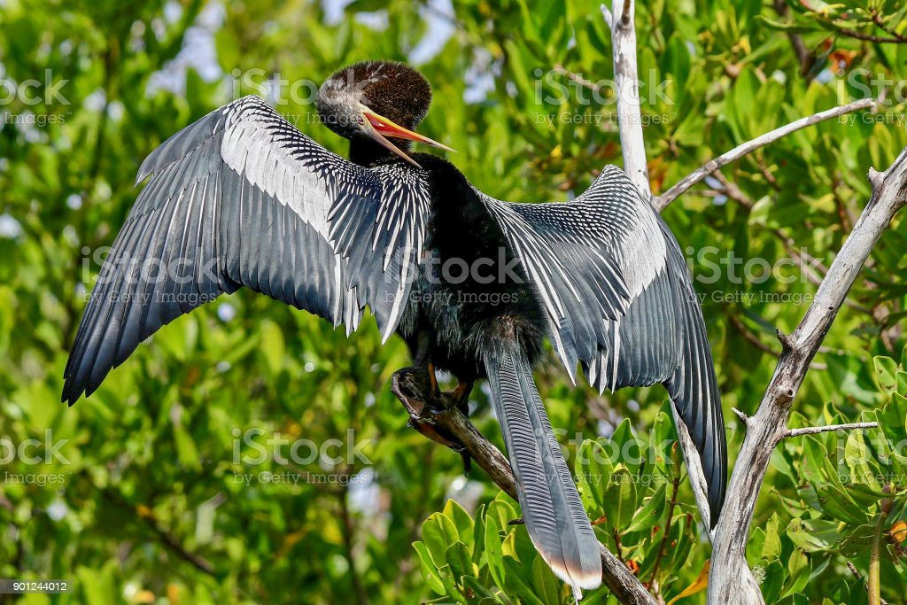 Anhinga sunning on a branch at Ding Darling National Wildlife Refuge 12 stock photo