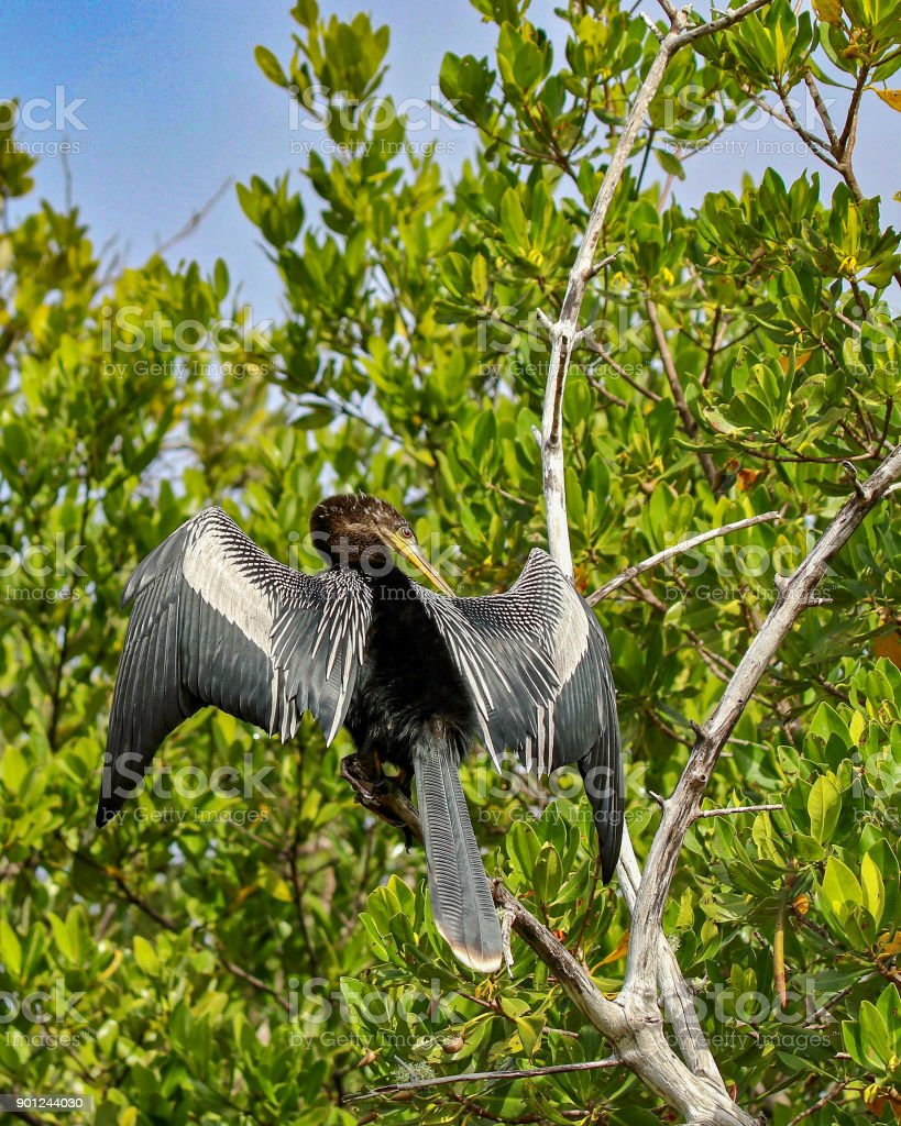 Anhinga sunning on a branch at Ding Darling National Wildlife Refuge 20 stock photo
