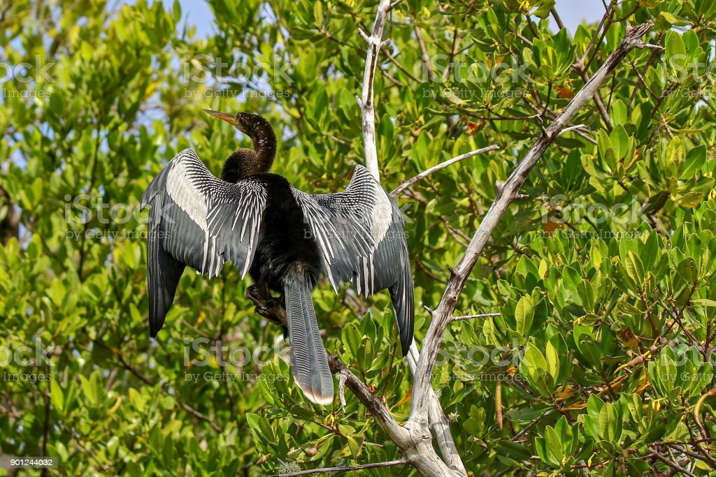 Anhinga sunning on a branch at Ding Darling National Wildlife Refuge 18 stock photo