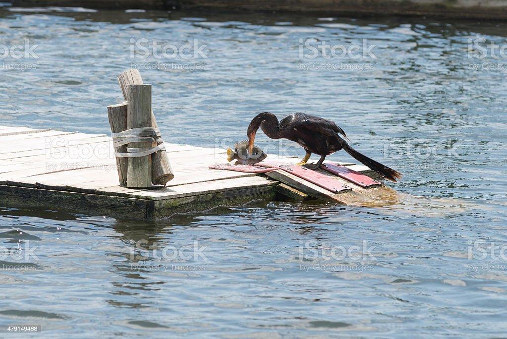 Anhinga with fish on floating dock stock photo