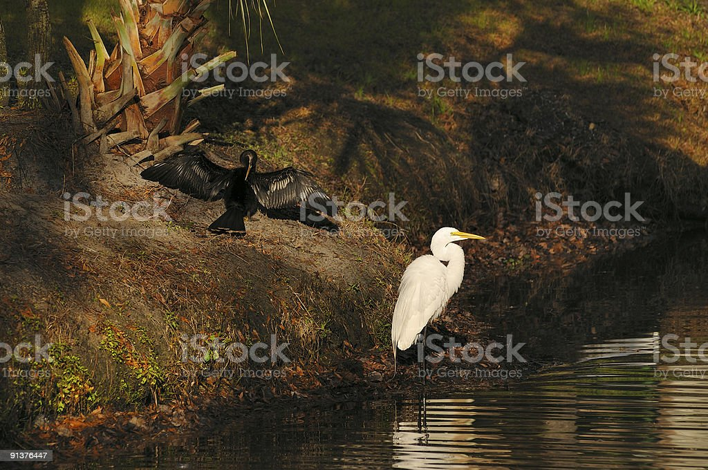 Anhinga With Great Egret royalty-free stock photo