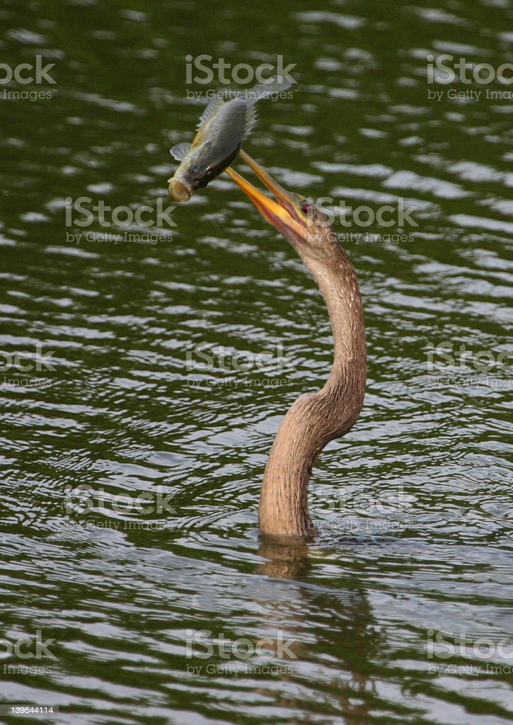 Anhinga with speared large-mouth bas royalty-free stock photo