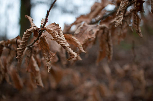 Anhydrous branch Dry leaf on a branch in winter anhydrous stock pictures, royalty-free photos & images