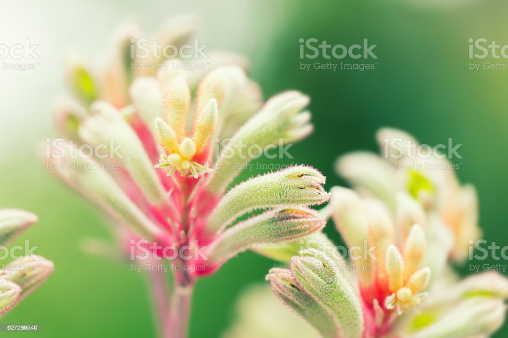 Anigozanthos manglesii flower, common name mangles kangaroo paw, stock photo
