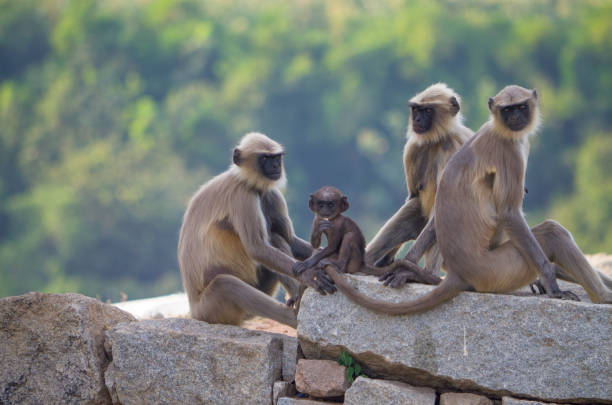 Animal a monkey in India South flat Langur in the ancient city of Hapmi in India Animal a monkey in India South flat Langur in the ancient city of Hapmi in India langur stock pictures, royalty-free photos & images