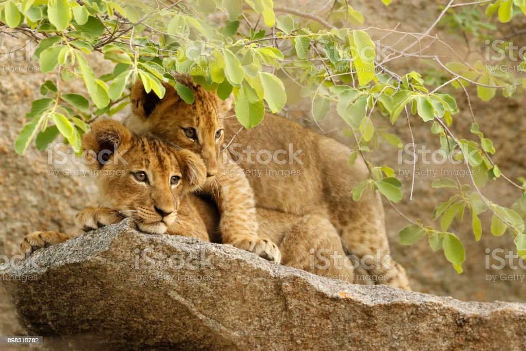 Animal African lion cubs cute wildlife babies cats safari nature