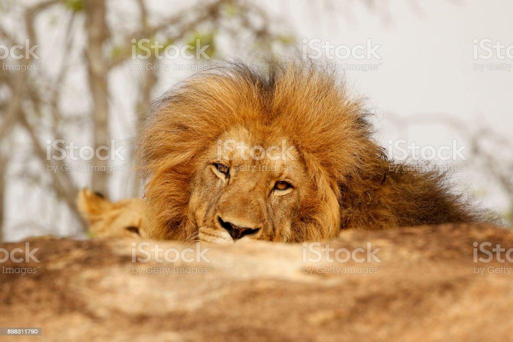 Animal African male lion mane wildlife nature safari dangerous cat