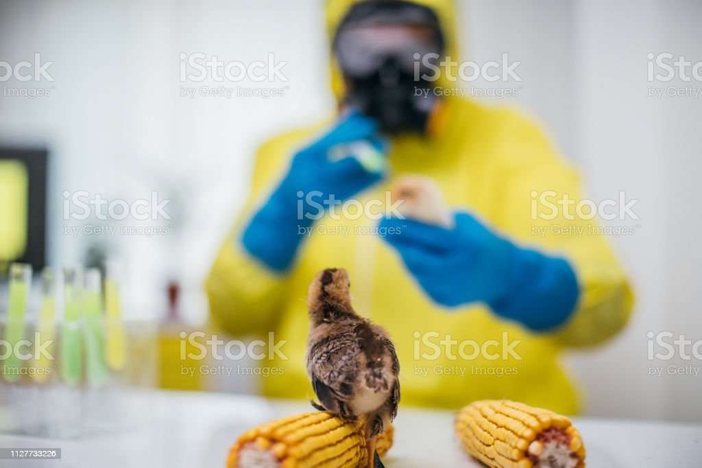 One man, scientist working in laboratory, testing little chickens.