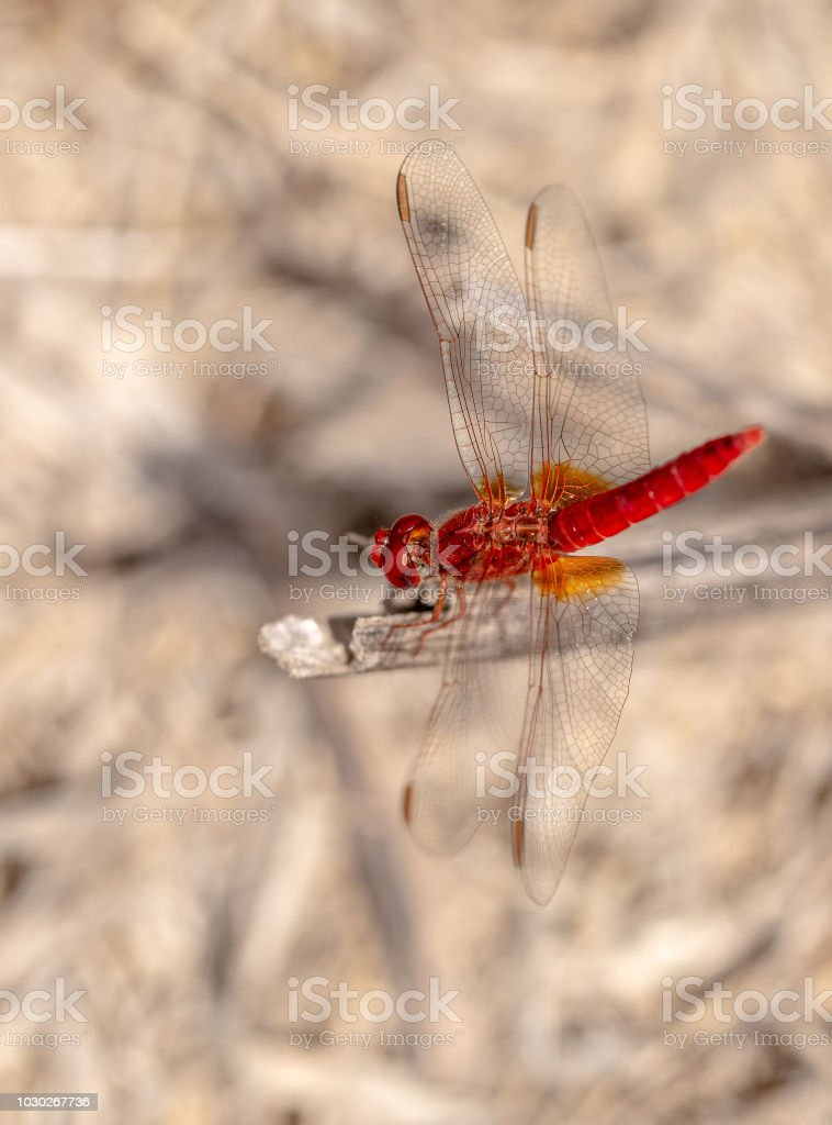 Beautiful Red Dragonfly On The Dry Grass With Blurred Background....