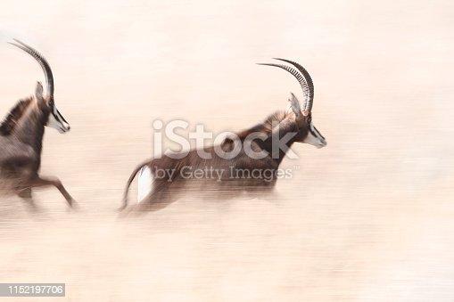 Animal antelope sable running panning grassland horns photography wildlife nature Africa grassland