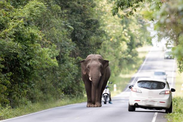 Animal : Asian wild elephant stock photo
