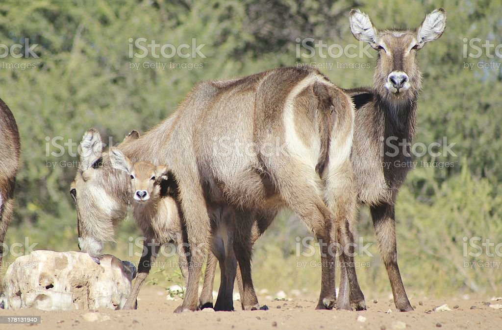 Animal Babies and Moms - Waterbuck from Africa royalty-free stock photo
