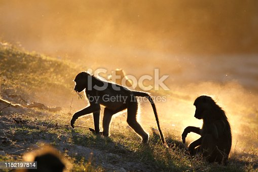 Animal baboon chacma primate ape landscape wildlife nature Africa safari sunset dust family feeding