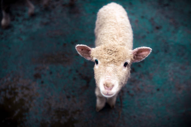 Animal background of a cute young sheep stock photo