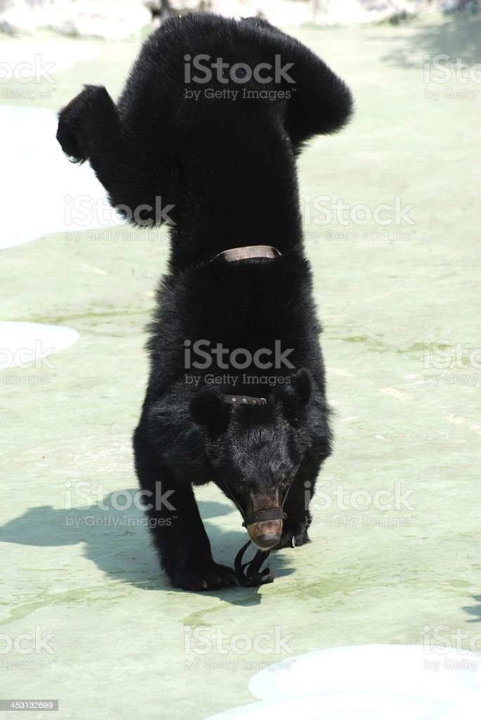 animal bear show stock photo