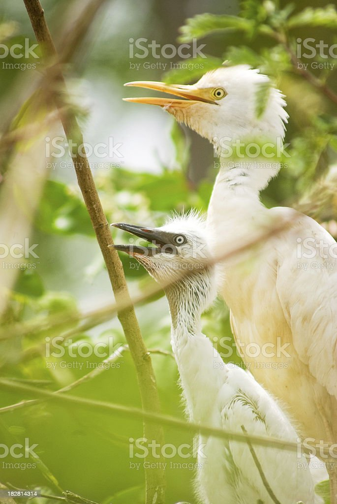 animal behavior - mother heron and young in treetop