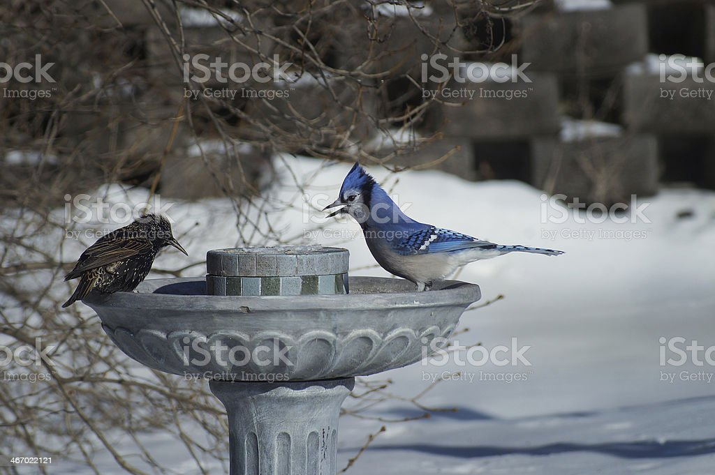 Animal Behavior : Blue jay & common Starling (sturnus vulgaris) stock photo