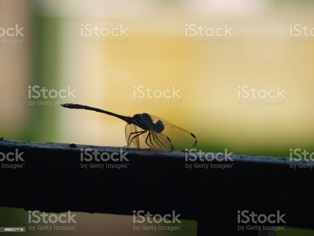 Animal Behavior of Dragonfly stock photo