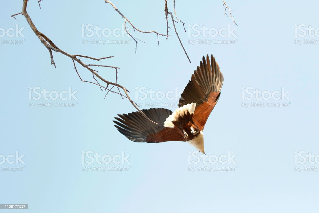 Animal bird African fish eagle flying sky tree nature wildlife