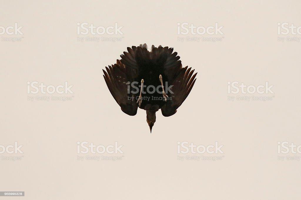 Animal bird bustard display male Africa wildlife nature wings flying...