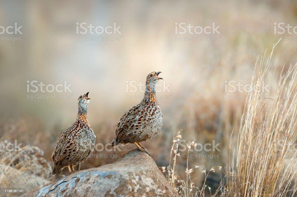 Animal bird calls francolin wildlife nature Africa avians savanna...