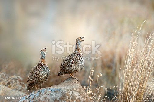 Animal bird calls francolin wildlife nature Africa avians savanna grassland cryptic camouflage environment