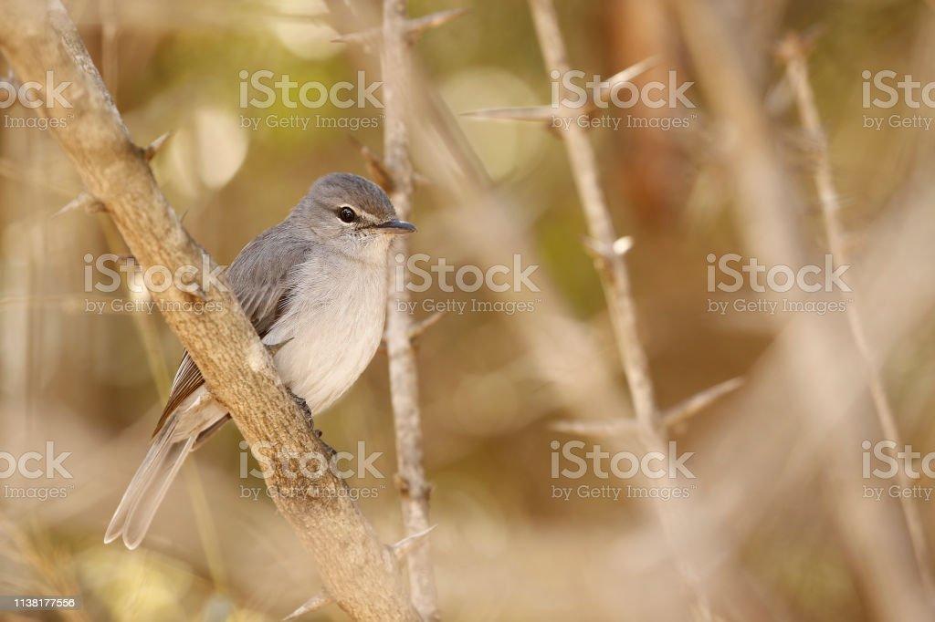 Animal bird flycatcher fly feathers nature wildlife woodland trees...