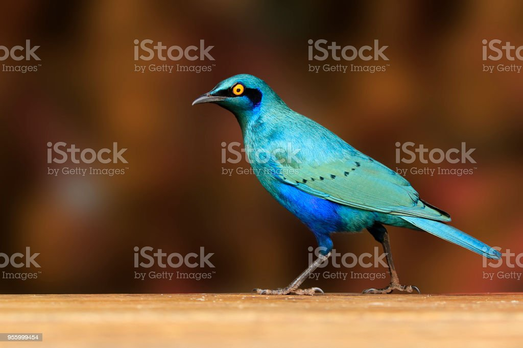 Animal bird glossy starling Africa wildlife nature wings flying