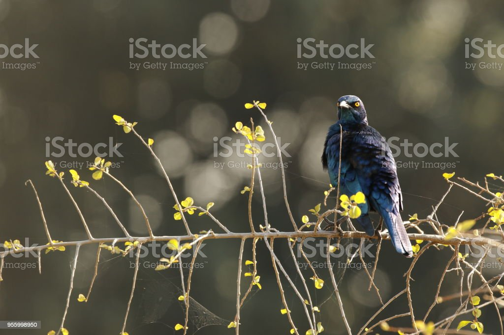 Animal bird glossy starling Africa wildlife nature wings flying trees...