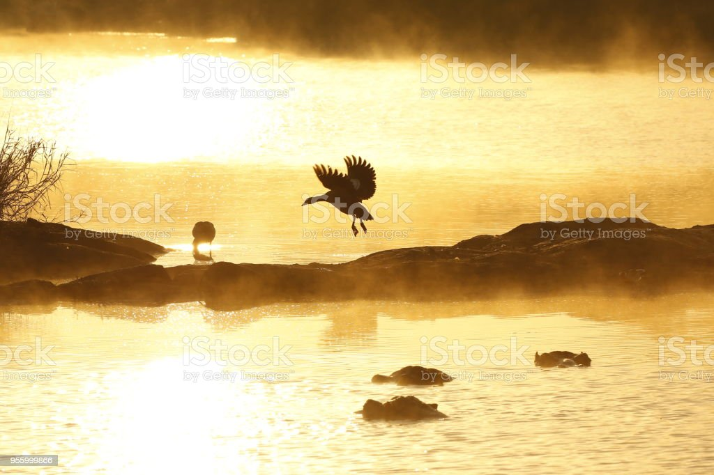 Animal bird goose Egyptian Africa wildlife nature wings flying sunset...