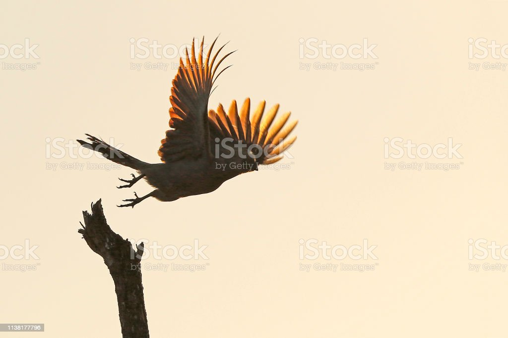 Animal bird grey go away loerie flying nature wildlife Africa sky...