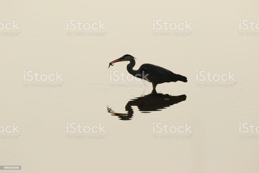 Animal bird heron water reflection Africa wildlife nature wings...