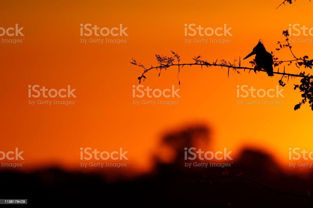 Animal bird kingfisher sunset sunrise silhouette sky trees wildlife...