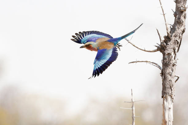 Animal bird lilac breasted roller flying colorful nature wildlife tree sky Animal bird lilac breasted roller flying colorful nature wildlife tree sky songbird stock pictures, royalty-free photos & images