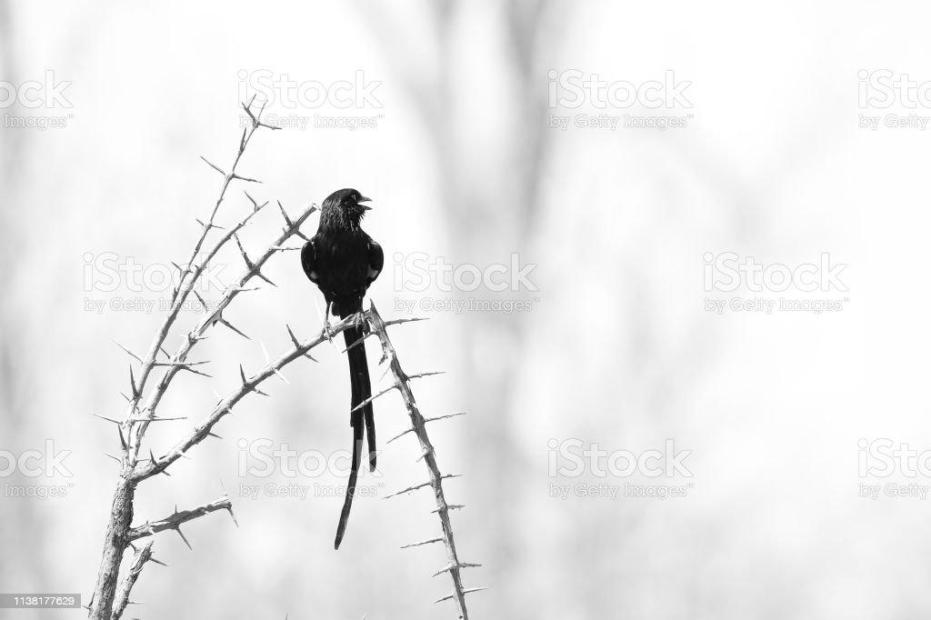 Animal bird magpie shrike black white nature wildlife trees thorns...