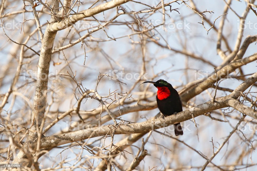 Animal bird scarlet chested sunbird trees sky colorful black red...