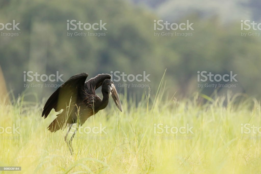 Animal bird stork open-billed Africa wildlife nature wings flying...