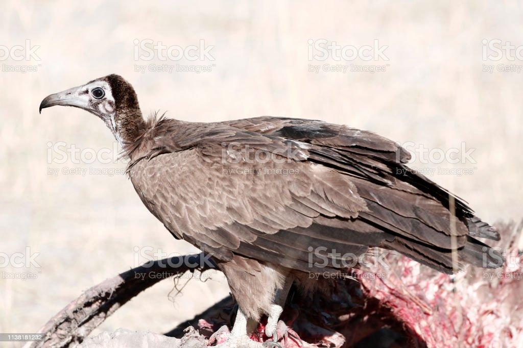 Animal bird vulture carcass scavenger feathers flesh bones wildlife...