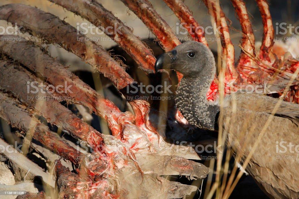 Animal bird vulture carcass scavenger wildlife nature Africa ribs...