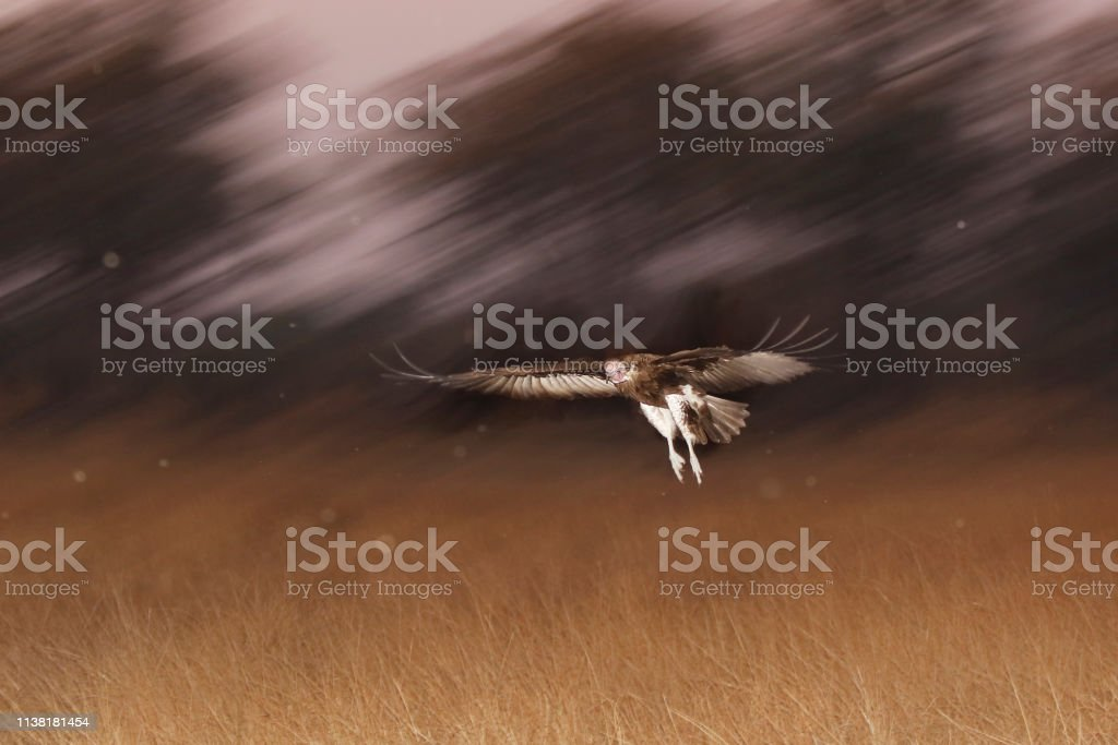 Animal bird vulture scavenger Africa flying wings grassland dark dusk...