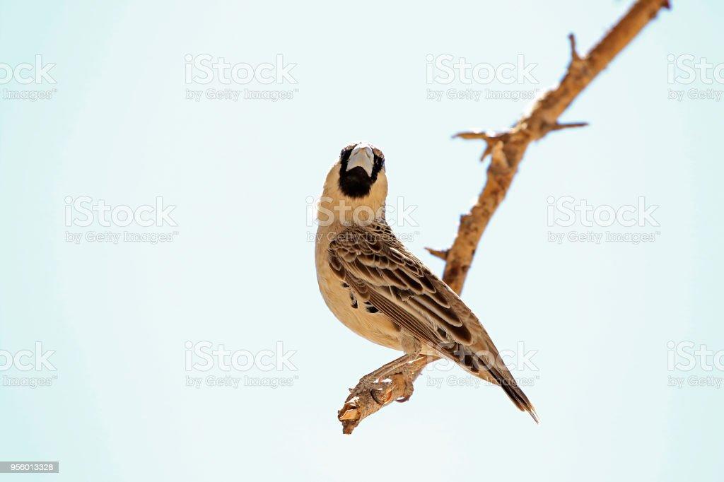 Animal bird weaver sociable Africa wildlife nature wings flying tree...