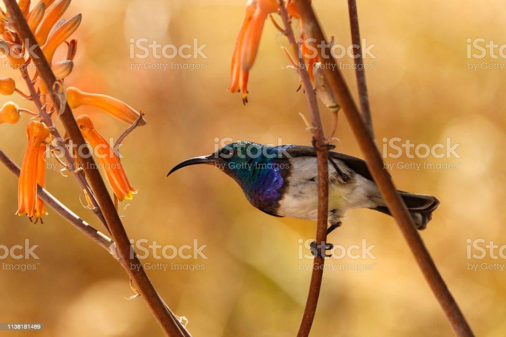 Animal bird white-bellied sunbird aloe flowers nectar sugar nature...