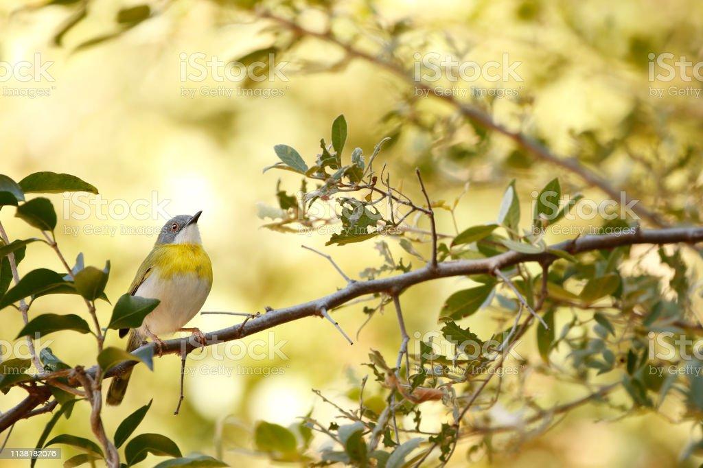 Animal bird Yellow-breasted Apalis Flavida trees leaves nature...