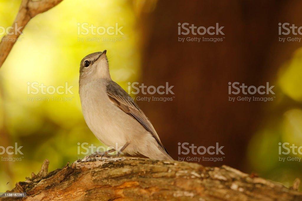 Animal birds African dusky flycatcher sitting woodland savanna safari...