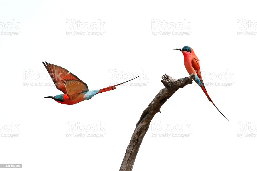 Animal birds carmine bee-eaters red flying wings nature wildlife...