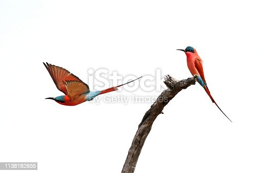 Animal birds carmine bee-eaters red flying wings nature wildlife Africa sky takeoff