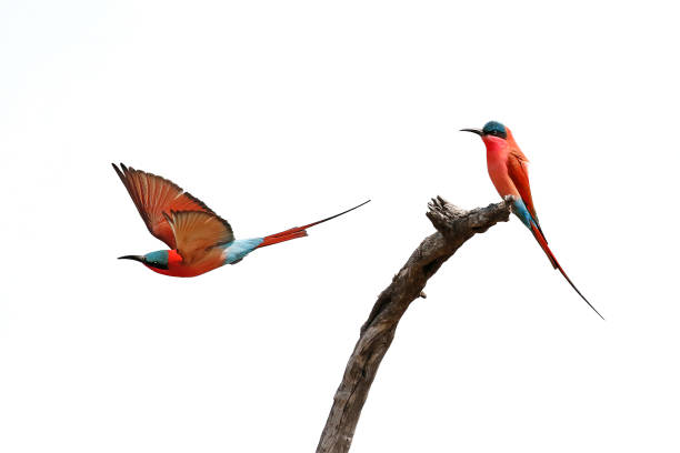 animal birds carmine bee-eaters red flying wings nature wildlife africa sky takeoff - wildlife reserve stock pictures, royalty-free photos & images