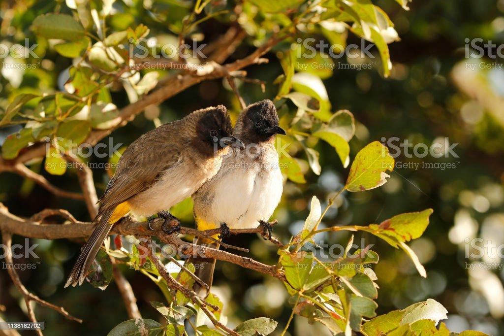 Animal birds dark-capped bulbul nature wildlife trees leaves pair...